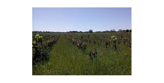 Gelée blanche sur le vignoble rhodanien : Que faire ?