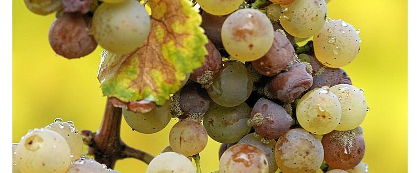 Vendanges 2015: vins liquoreux, se prémunir contre l'acidité volatile