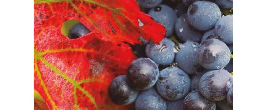 Vinification en rouge : 2 outils naturels pour une couleur plus intense