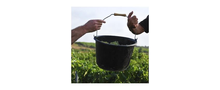 Vendanges : sécheresse et fortes chaleurs compliquent le millésime 2016 en Languedoc-Roussillon