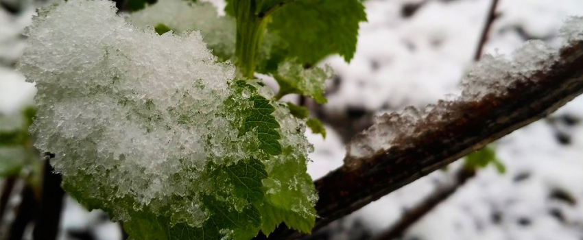 Gel de printemps :  agir à la vigne pour réduire les dégâts