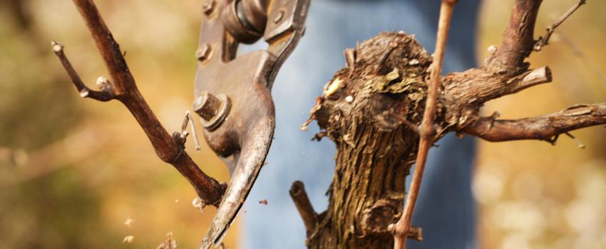 Mise en réserve de la vigne
