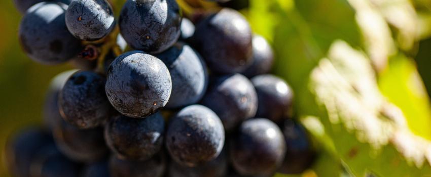 À la vigne : maximisez le potentiel de vos raisins avec LalVigne™