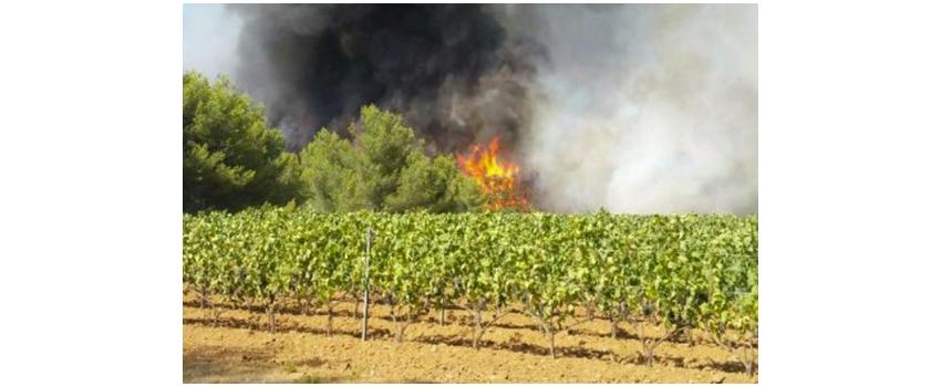 Comment remédier au mieux au conséquences des incendies sur les raisins ?