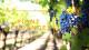 Point Vendanges 2020 - semaine du 15 octobre